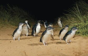 Little penguins on Tasmania